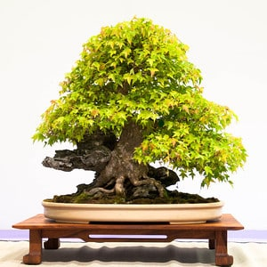 Trident maple - 80 years