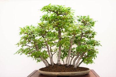 Japanese maple - 40 years