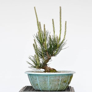 Young black pine